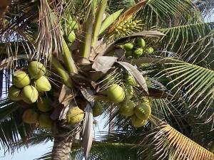 kokos - palma kokosowa